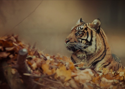 tiger-top-header